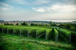 Balaton Wine Tour Petranyi Pince vineyard 300x199 - Balaton-Wine-Tour-Petranyi-Pince-vineyard